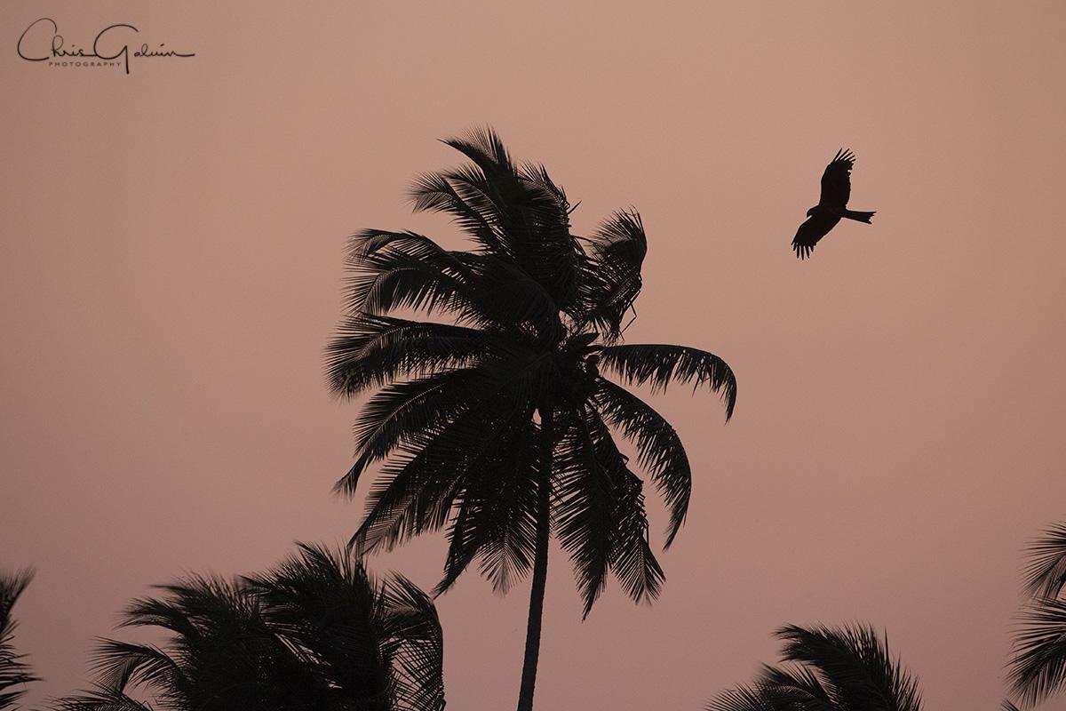 Black Kite 7074