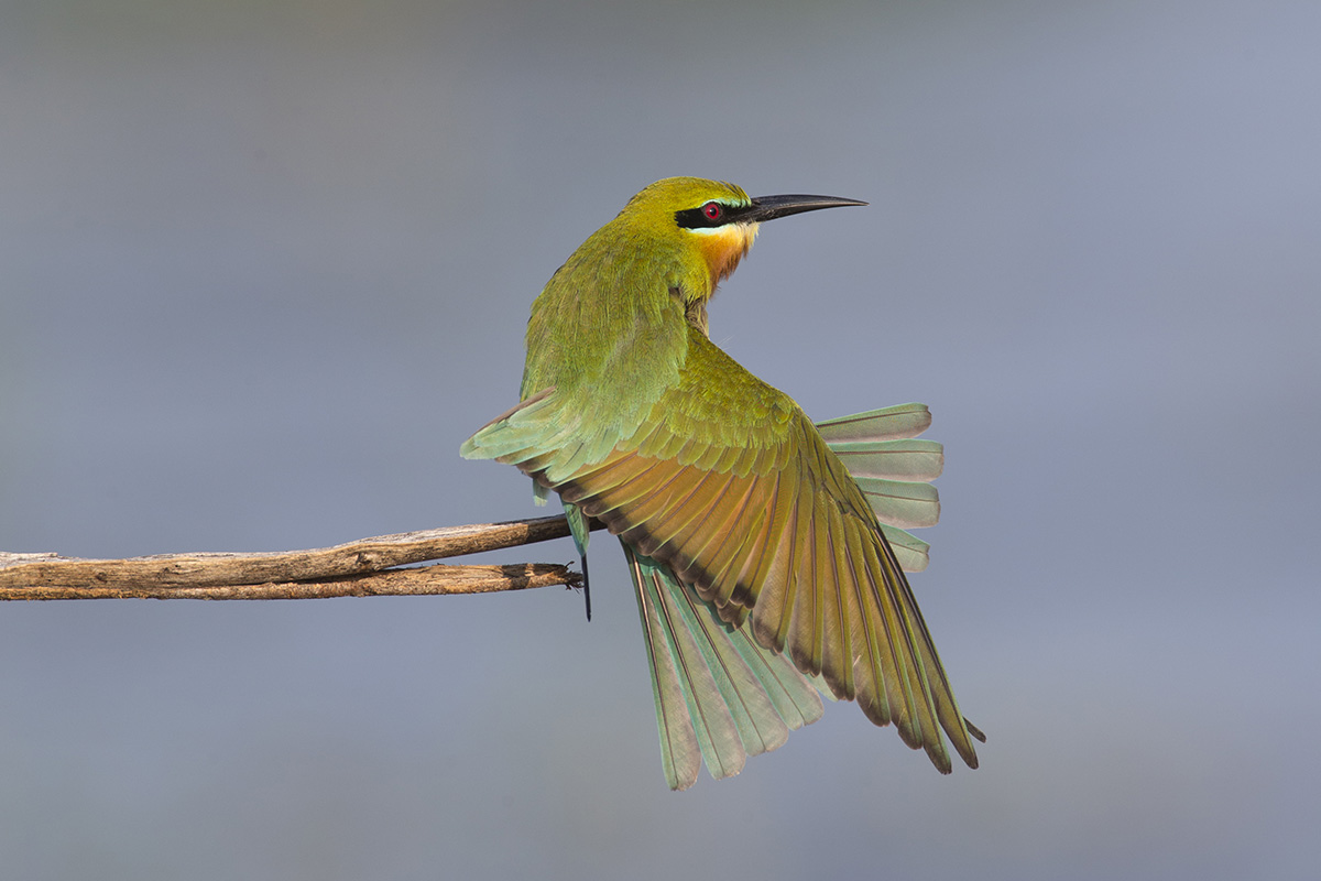 Blue-tailed Bee-eater 9139web