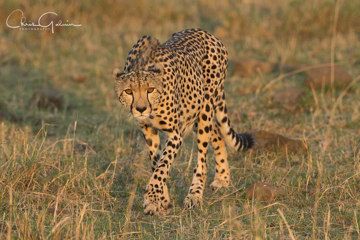 Cheetah 5795
