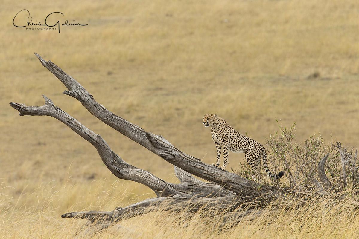 Cheetah 8985