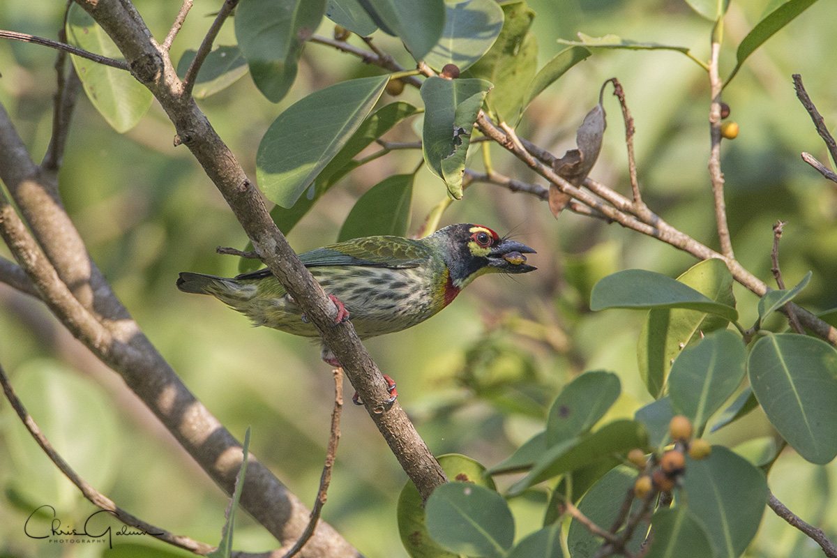 Coppersmith Barbet 8320