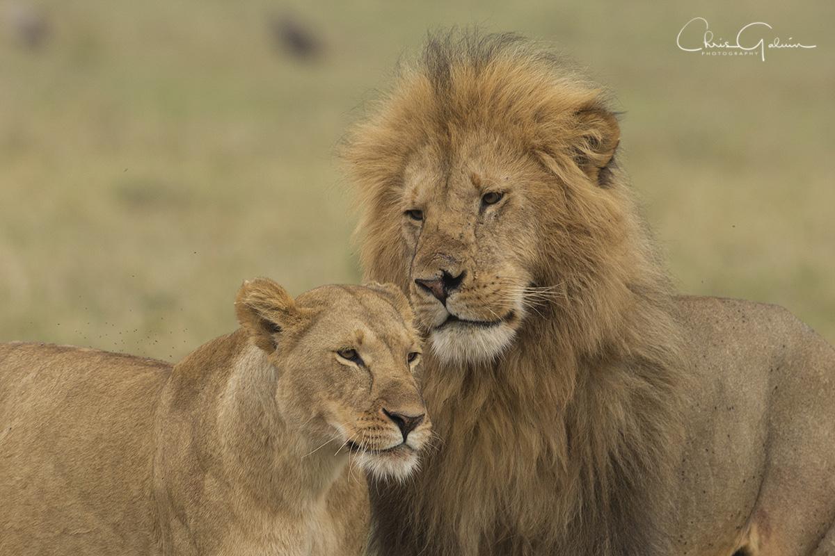 Lion 6600