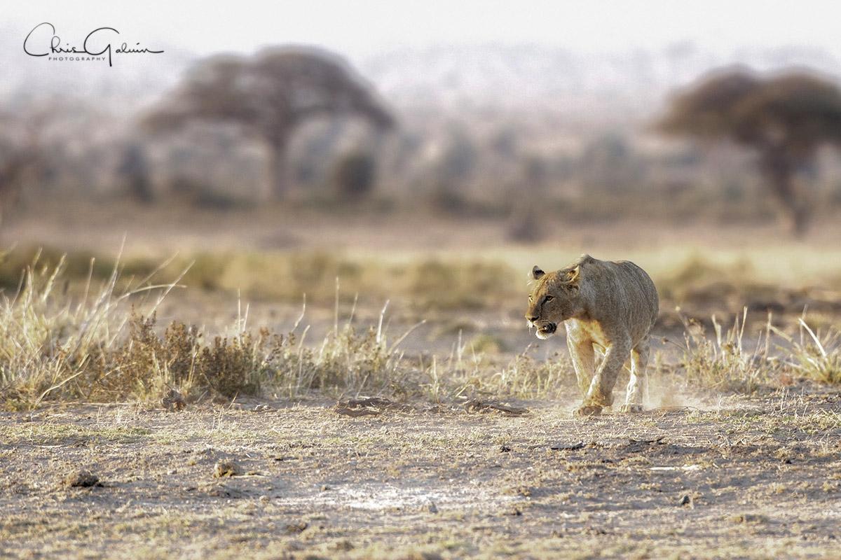 Lion 8940