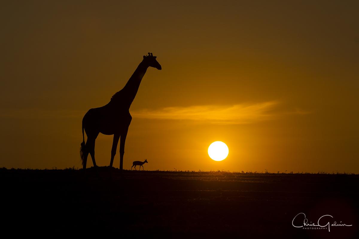 Masai Giraffe 9961