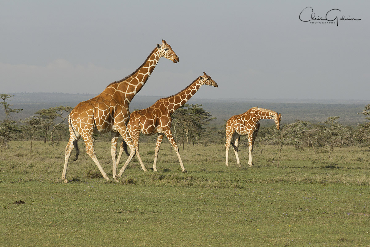 Reticulated Giraffe 0573