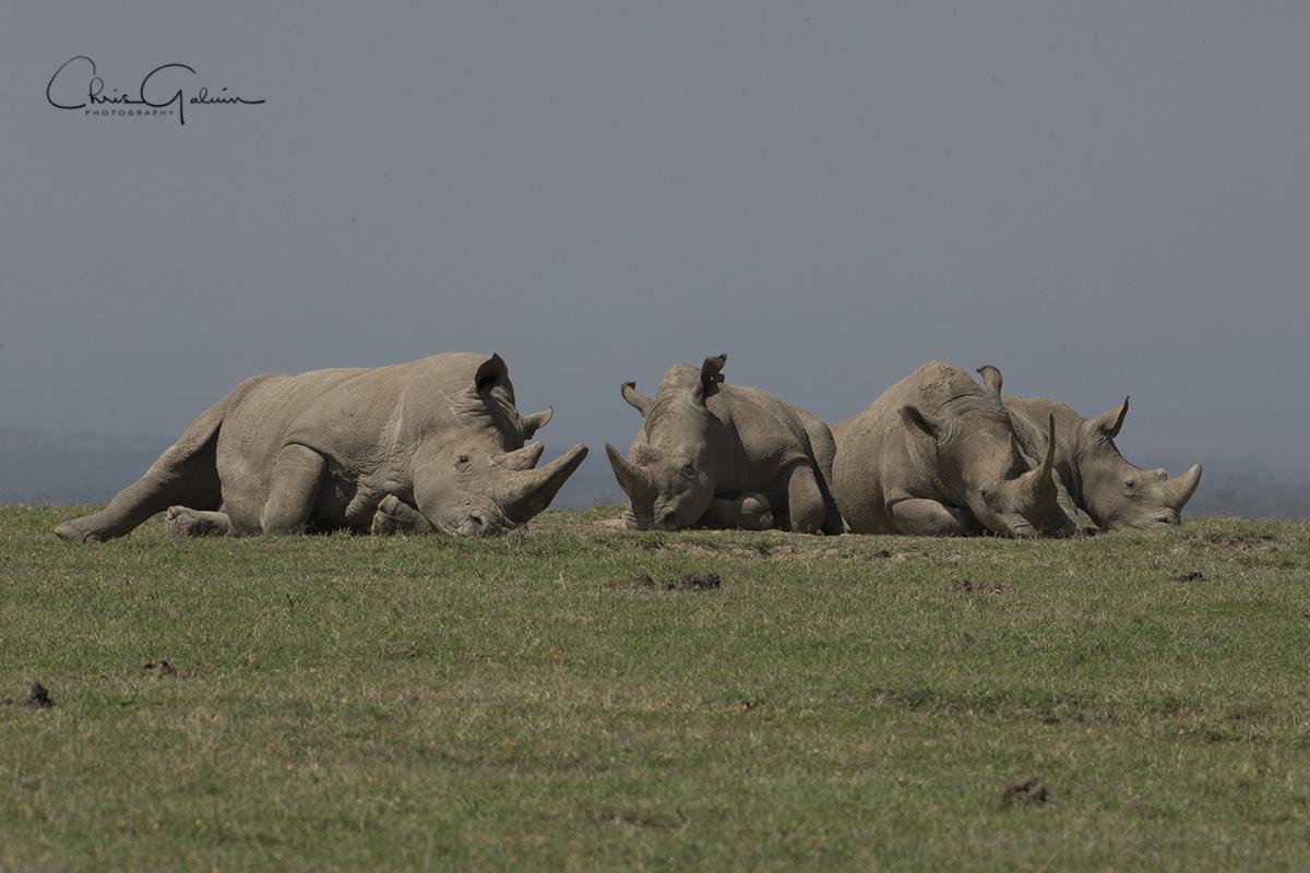 White Rhino 3562