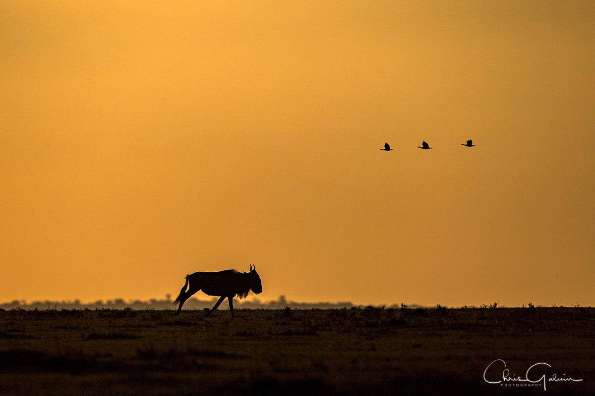 Wildebeest 8105