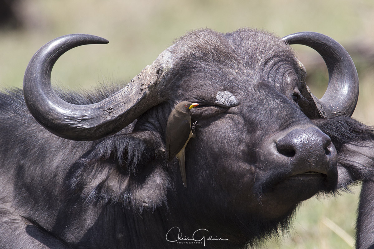 Yellow-billed Oxpecker 0959