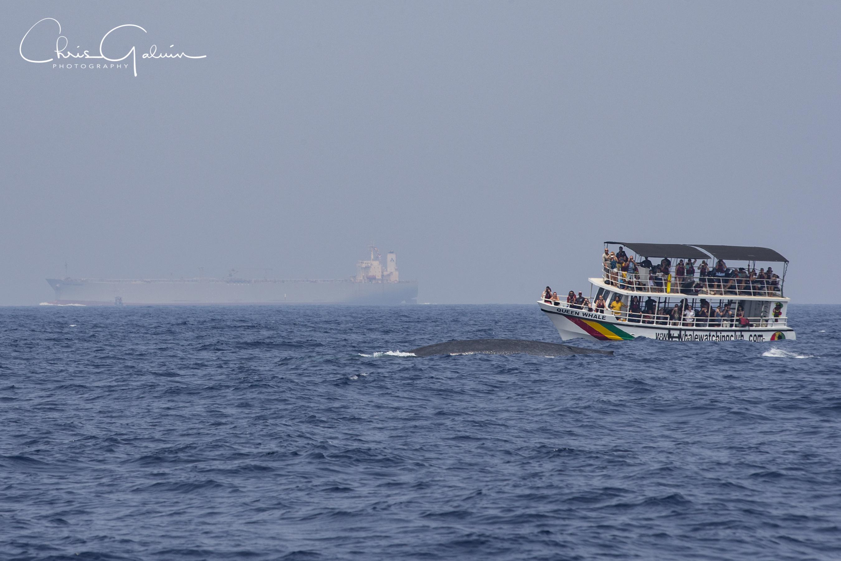 Blue Whale 7141