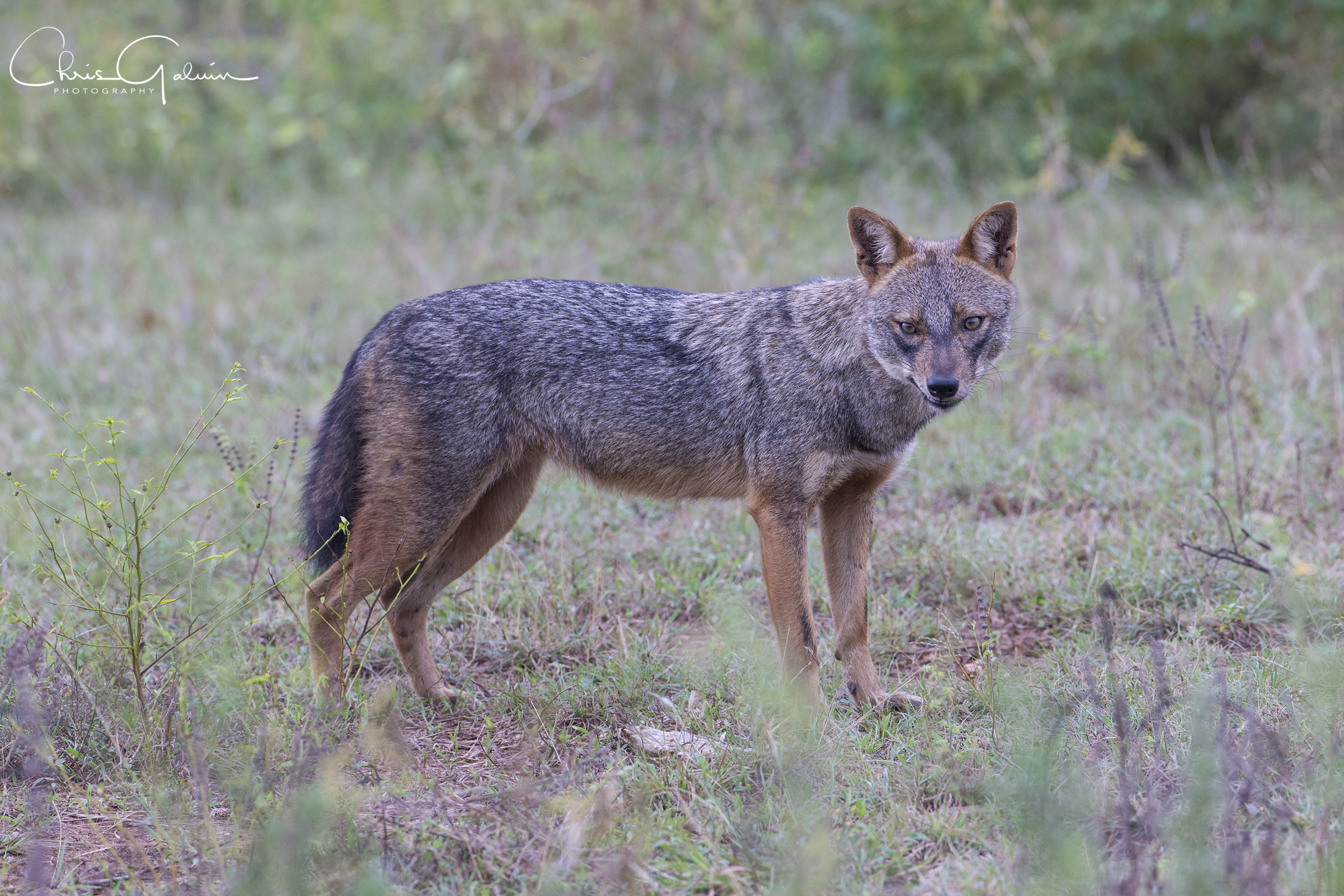 Golden Jackal 0019 v2