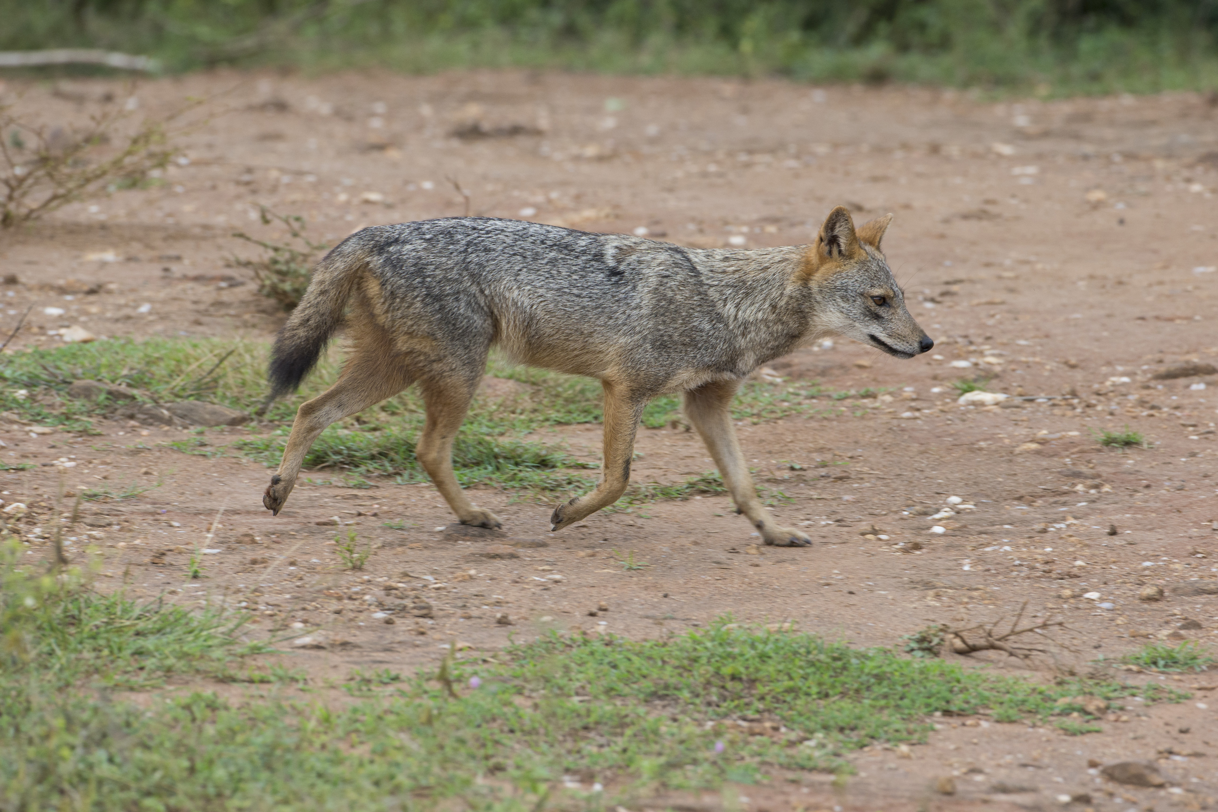 Golden Jackal 0032