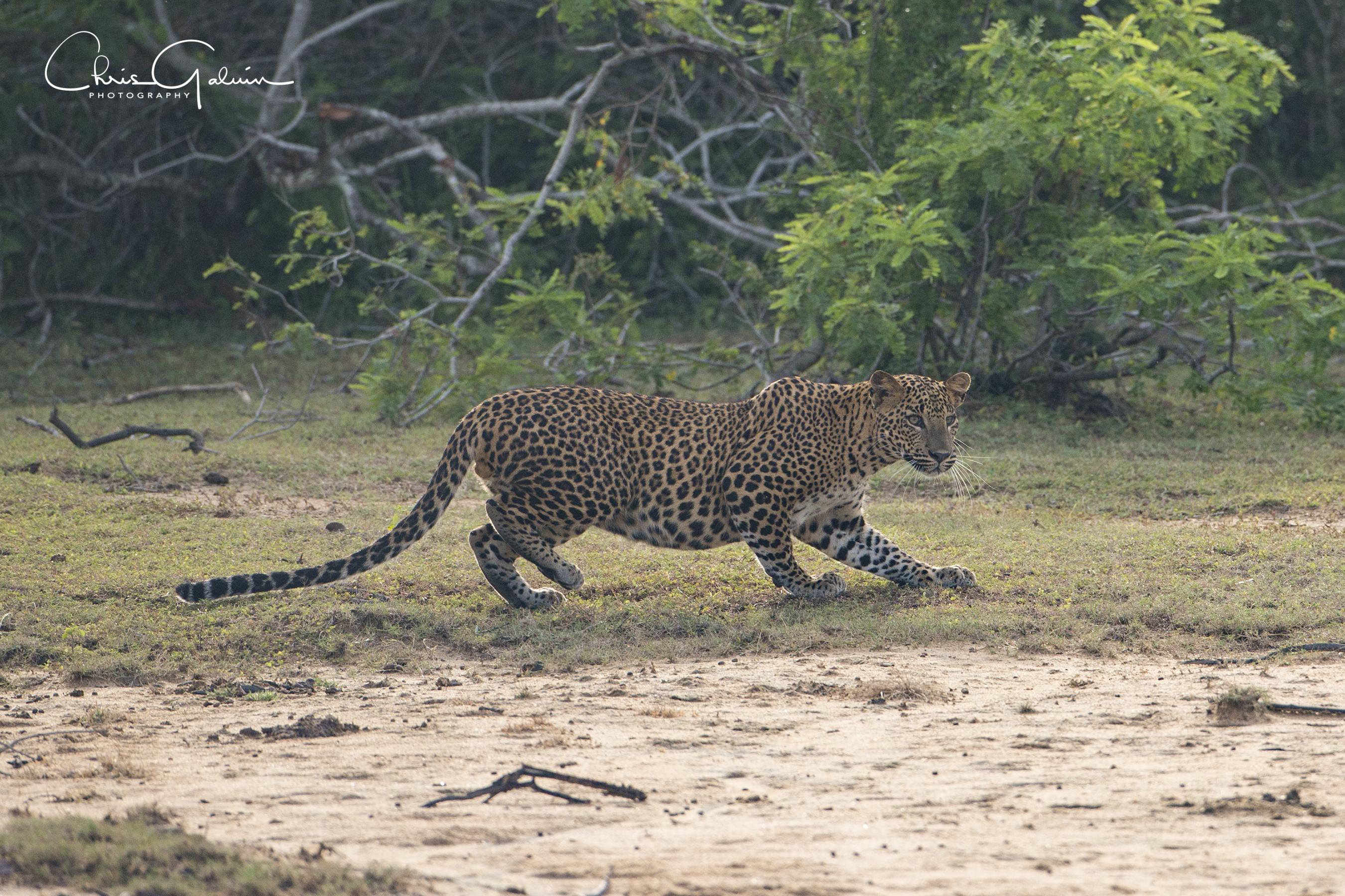 Leopard 9520