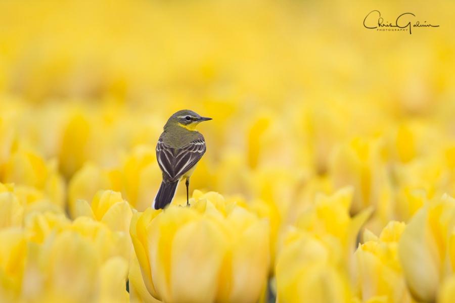 Yellow Wagtail 3198
